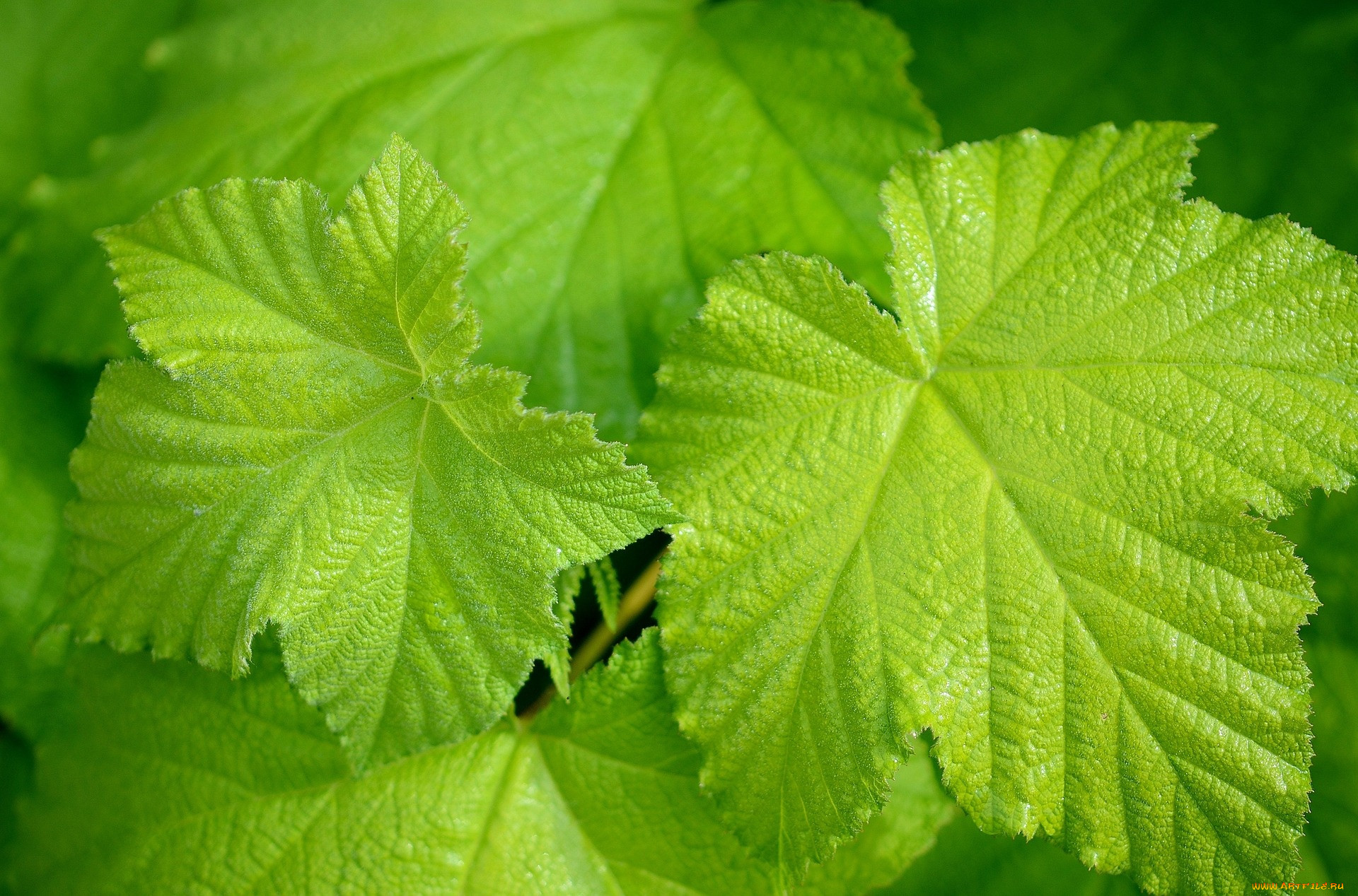 металлический сайдинг фото листа винограда этом небольшом городке
